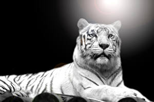 Fotos Tiger Weiß Starren Tiere