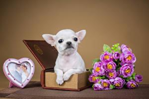 Bilder Valentinstag Hunde Sträuße Rosen Herz Chihuahua Tiere