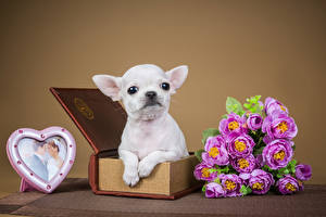 Bilder Valentinstag Hunde Sträuße Rosen Herz Chihuahua