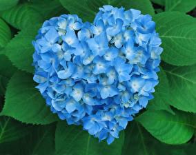Hintergrundbilder Valentinstag Hortensie Herz Hellblau