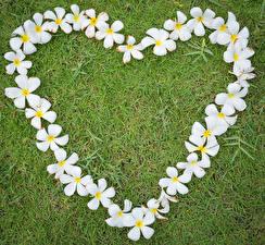 Bilder Valentinstag Frangipani Gras Herz Weiß Design Blumen