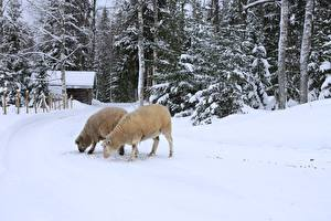 Photo Winter Sheep Snow 2