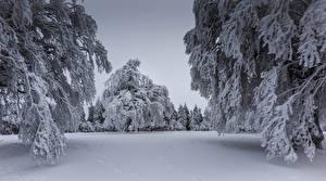 Papéis de parede Invierno Neve Picea Galho Naturaleza