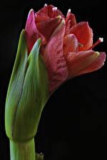Fotos Amaryllis Großansicht Schwarzer Hintergrund Blumen