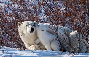 Pictures Bears Polar bears Cubs