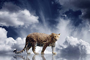 Bilder Große Katze Leopard Starren Tiere