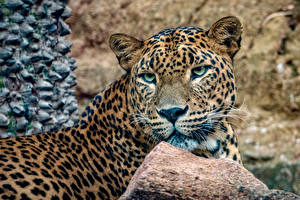 Wallpapers Big cats Leopards Snout Staring Animals