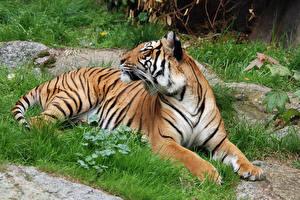 Hintergrundbilder Große Katze Tiger