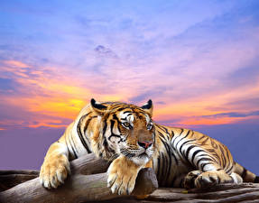 Image Big cats Tigers Paws