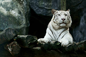 Photo Big cats Tigers White Snout animal