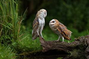 Pictures Birds Owls Two Tyto Animals