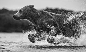 Hintergrundbilder Ein Bär Braunbär Wasser Laufsport Schwarzweiss Spritzwasser