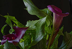 Image Marsh Wild Calla Closeup Two Wine color Foliage Flowers
