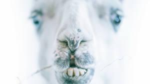 Hintergrundbilder Kamele Großansicht Zähne Schnauze ein Tier