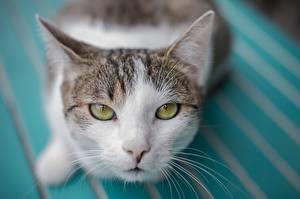 Hintergrundbilder Katze Blick Schnurrhaare Vibrisse Schnauze Tiere