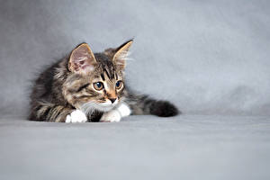 Wallpapers Cats Gray background Kittens Animals