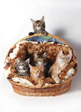 Hintergrundbilder Katze Weißer hintergrund Weidenkorb Kätzchen Tiere