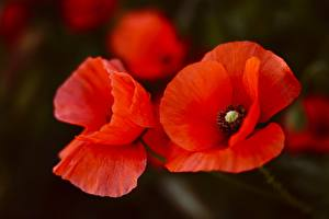 Hintergrundbilder Hautnah Mohn Rot Blumen