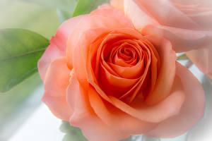 Fotos Großansicht Rosen Orange Blumen
