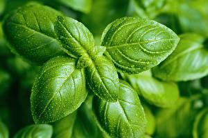 Hintergrundbilder Hautnah Tropfen Blattwerk Grün basil Lebensmittel