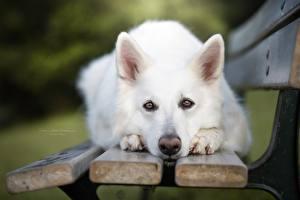 Bilder Hunde Shepherd Blick Bank (Möbel) Weiß Schnauze Berger Blanc Suisse