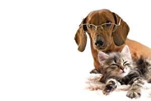 Bilder Hunde Katze Weißer hintergrund 2 Brille Katzenjunges Dackel Tiere