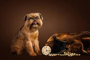 Fotos Hunde Uhr Farbigen hintergrund Der Hut Brussels Griffon Tiere
