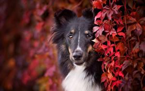Fotos Hunde Collie Starren Schnauze