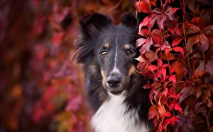 Picture Dog Collie Staring Snout Animals
