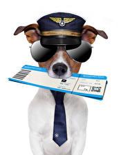 Fotos Hunde Originelle Weißer hintergrund Jack Russell Terrier Uniform Brille Krawatte Lustiger ein Tier