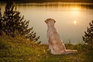 Fotos Hunde Golden Retriever Küste Sonnenaufgänge und Sonnenuntergänge