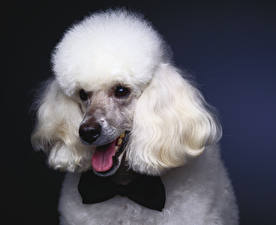 Image Dogs Poodle Bow tie Snout White Tongue Animals