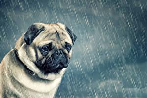 Hintergrundbilder Hunde Regen Bulldogge Welpe Trübsal