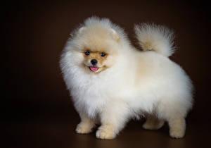 Hintergrundbilder Hunde Spitz Weiß