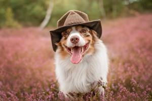 Wallpaper Dogs Tongue Funny Hat Australian Shepherd Animals