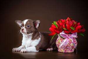 Bilder Hunde Tulpen Farbigen hintergrund Chihuahua Vase Schleife Blumen
