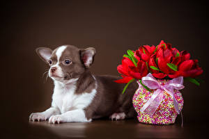 Bilder Hund Tulpen Farbigen hintergrund Chihuahua Vase Schleife Tiere Blumen