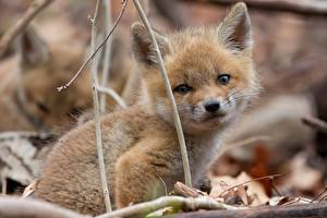 Images Foxes Cubs Glance animal