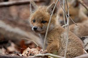 Wallpaper Foxes Cubs Glance Animals