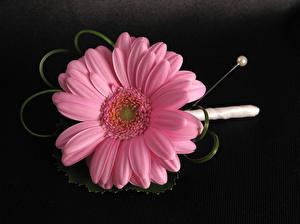Hintergrundbilder Gerbera Nahaufnahme Schwarzer Hintergrund Rosa Farbe Blüte