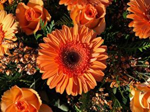 Picture Gerberas Roses Closeup Orange flower