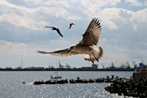 Sfondi desktop Gabbiani Uccelli Piume Volo animale