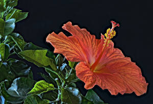Images Rose mallow Closeup Black background Orange HDRI Flowers