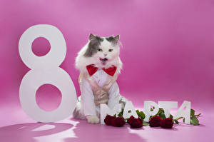 Hintergrundbilder Feiertage 8 März Katze Rosen Bordeauxrot Russische Tiere Blumen