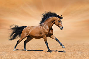 Pictures Horse Sand Run Brown Animals