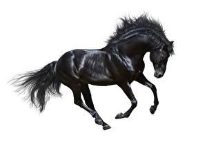 Image Horses White background Black Run animal