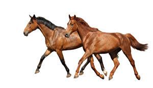 Bilder Pferde Weißer hintergrund 2 Laufsport Braun Tiere