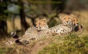 Wallpapers Leopards Three 3 Animals