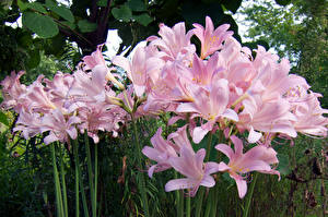 Pictures Lilies Many Pink color Flowers