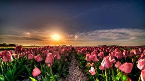 Hintergrundbilder Niederlande Tulpen Acker Morgendämmerung und Sonnenuntergang Blüte